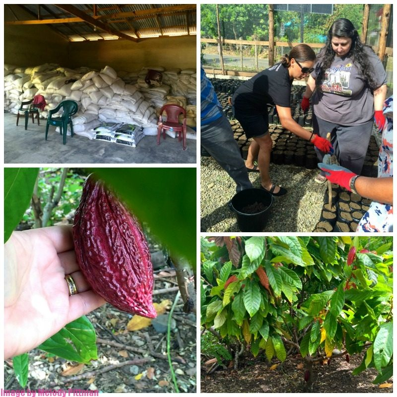 planting cacao in the Dominican Republic
