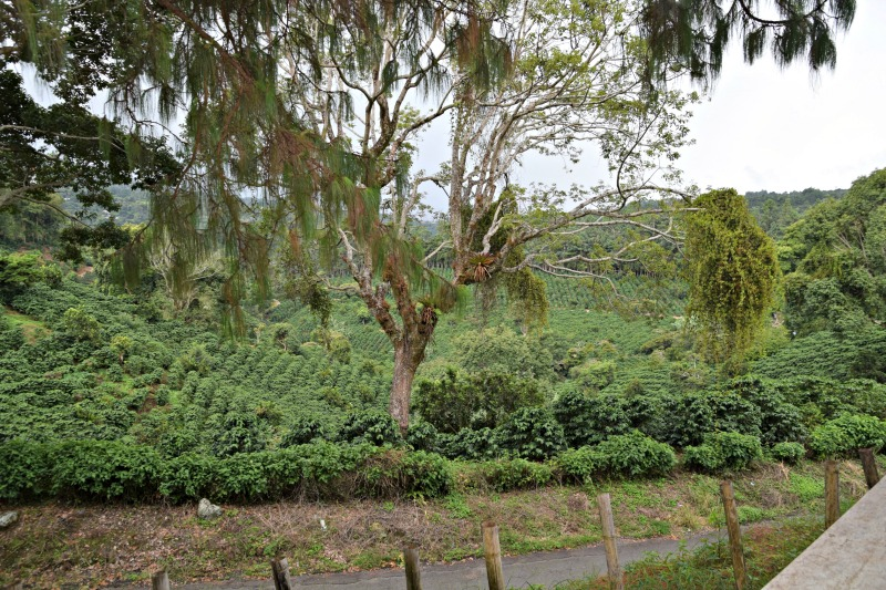 Pictures of Boquete: Coffee Fields