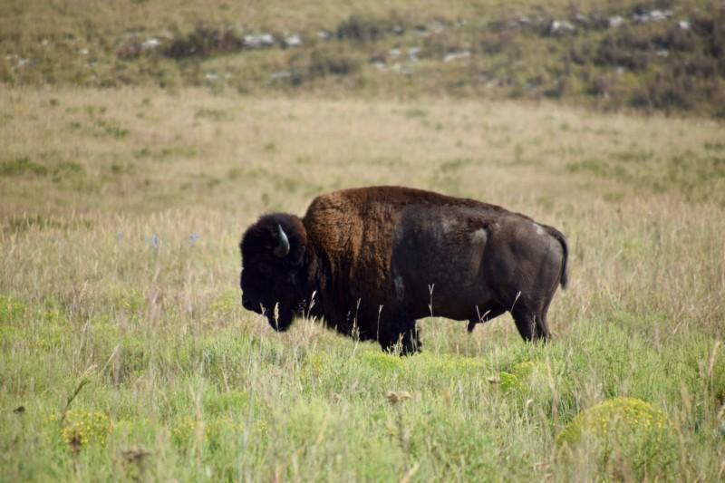 american-bison-flint-hills-kansas