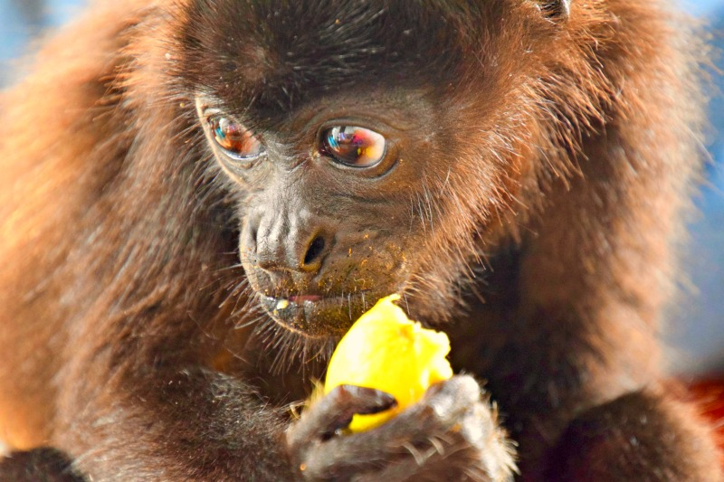 howler monkey eating fruit