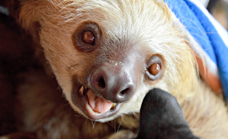 A one day itinerary to Volcan, Panama should include a stop by Raquel's Ark to play with the sloths and monkeys.