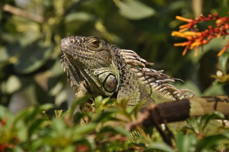Adorable iguana in Delray Beach, Florida.