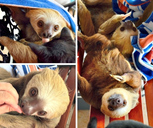 adorable sloth adventures things to do in volcan Panama