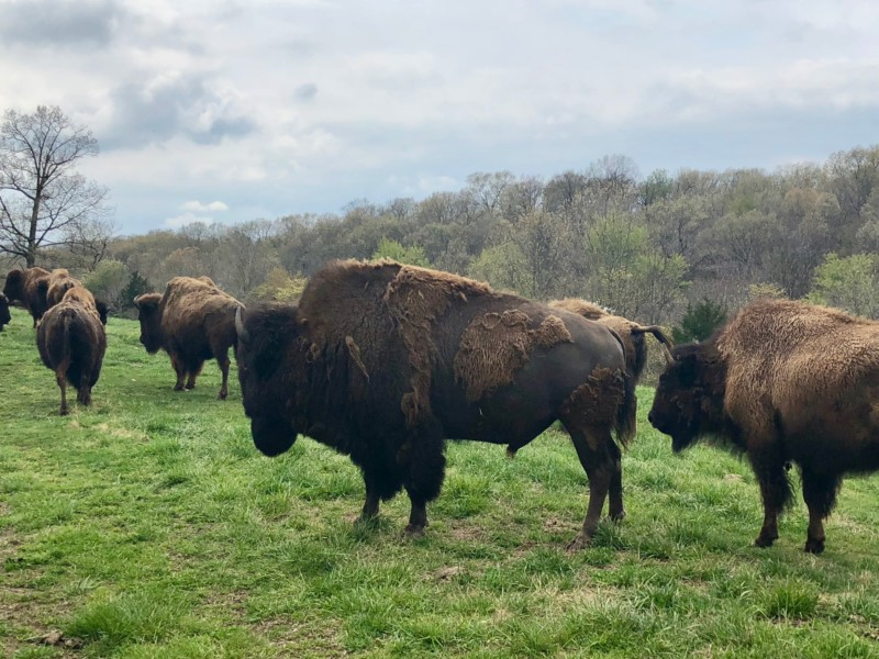 Beautiful bison at Dogwood Canyon in Missouri.