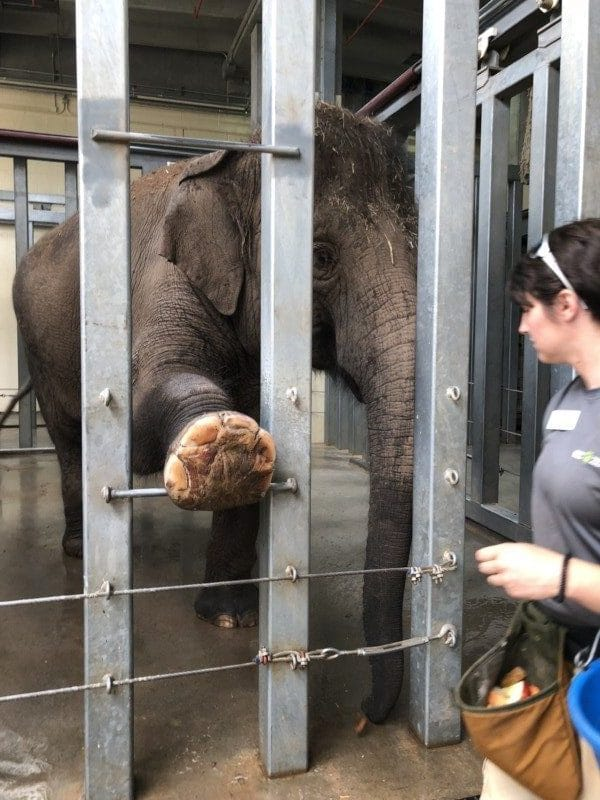 elephant getting nails trimmed at Oklahoma City zoo