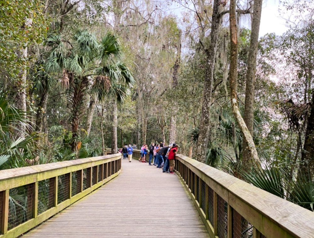 manatee viewing at blue springs state park boardwalk