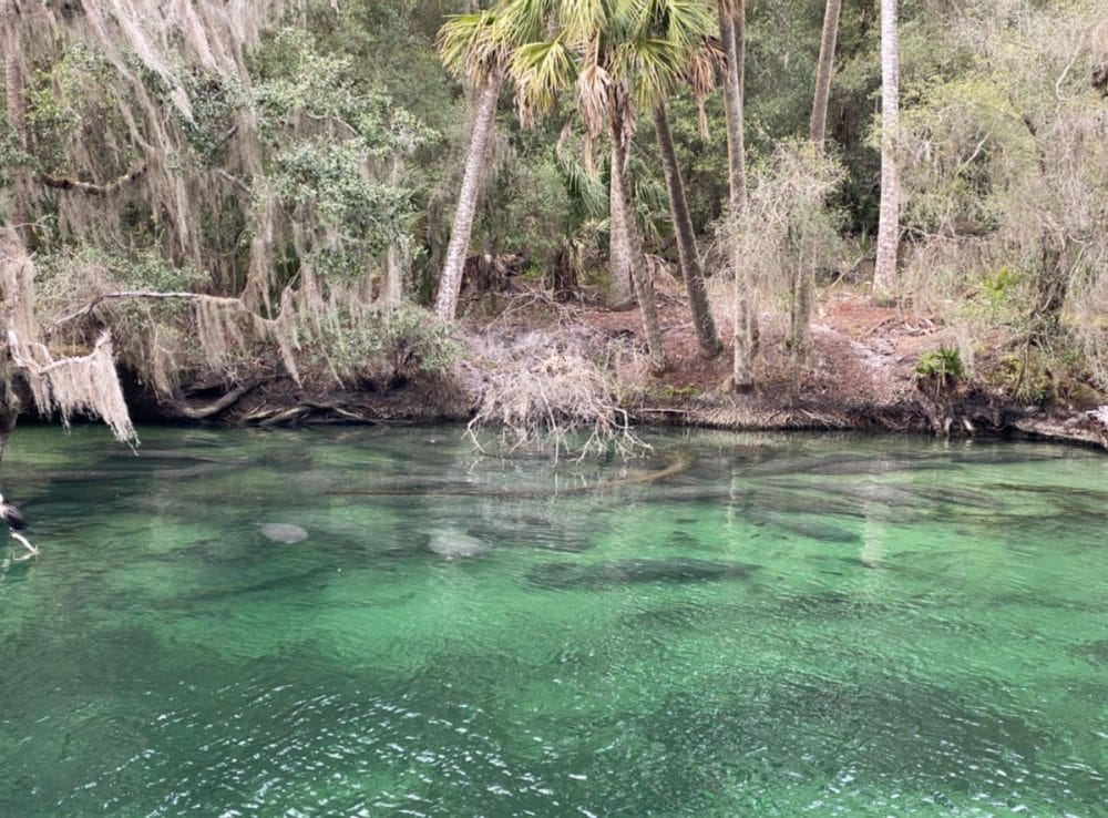 manatees at blue springs state park