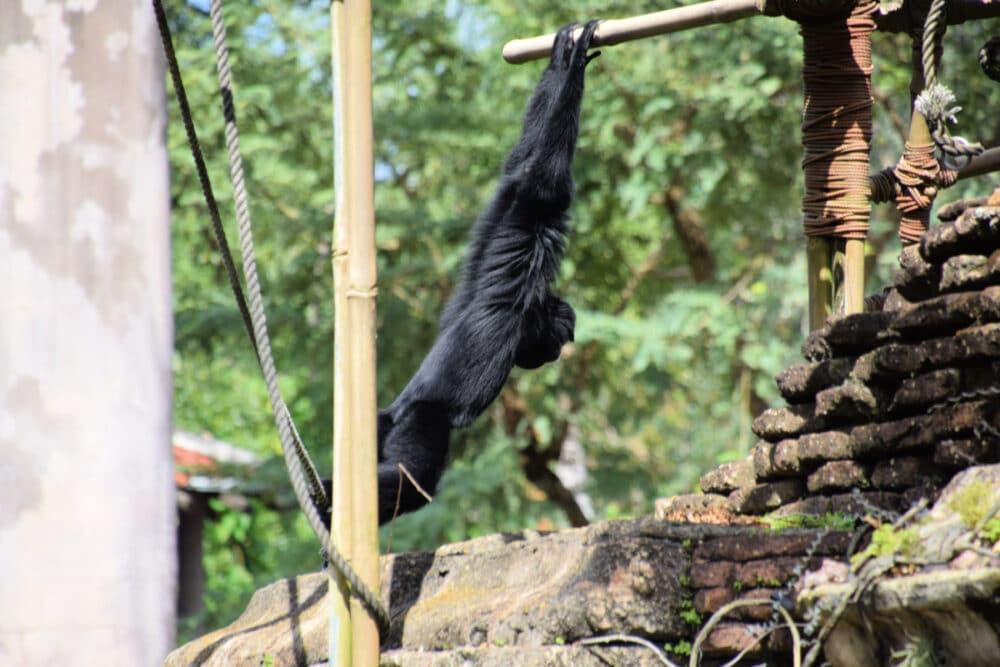 gorilla-exhibit-at-animal-kingdom