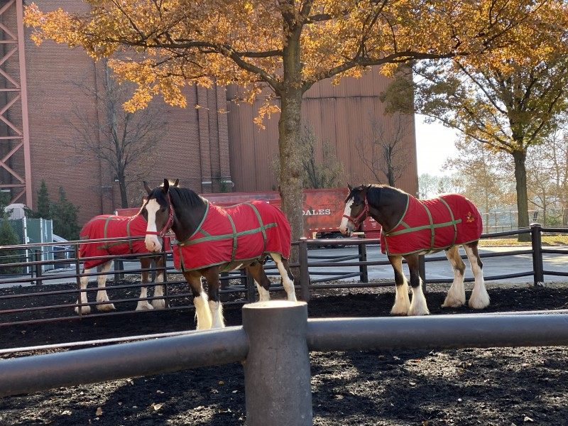 clydesdales outside in the pen Budweiser st Louis