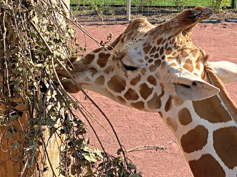 giraffe eating at Lincoln childrens zoo
