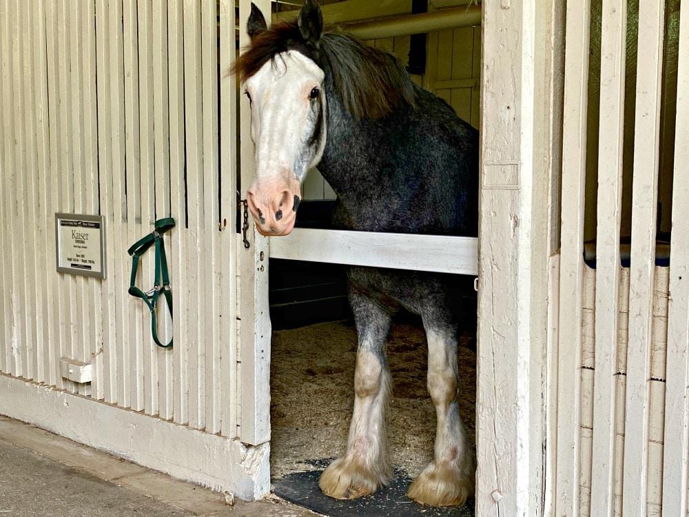 kaiser clydesdale horse in lexington