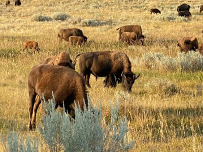 buffalo-roaming-teddy-roosevelt-national-park