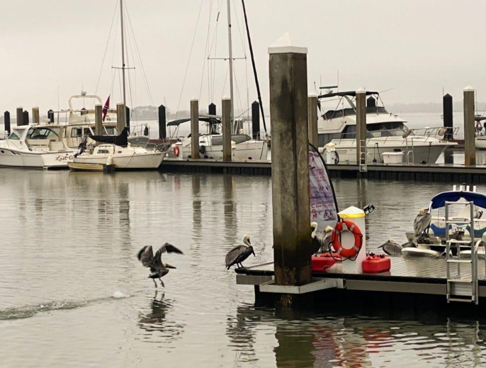 pelicans playing around marina