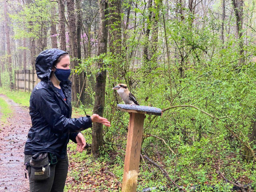 kookaburra-at-Carolina-raptor-center