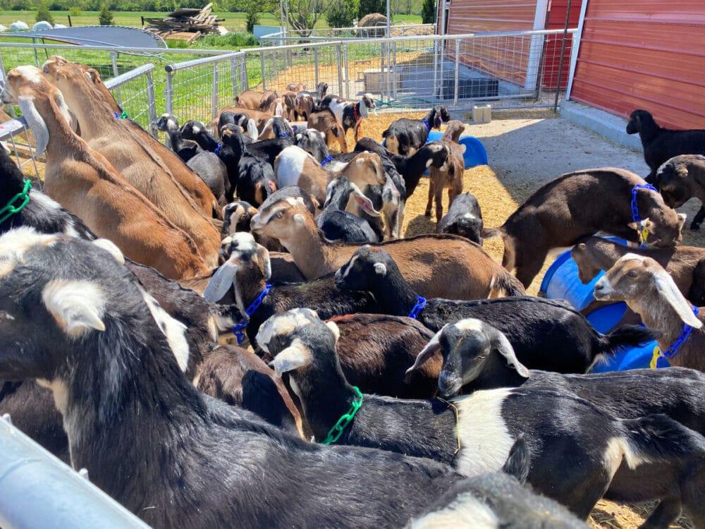 goats-at-prairie-fruit-farms