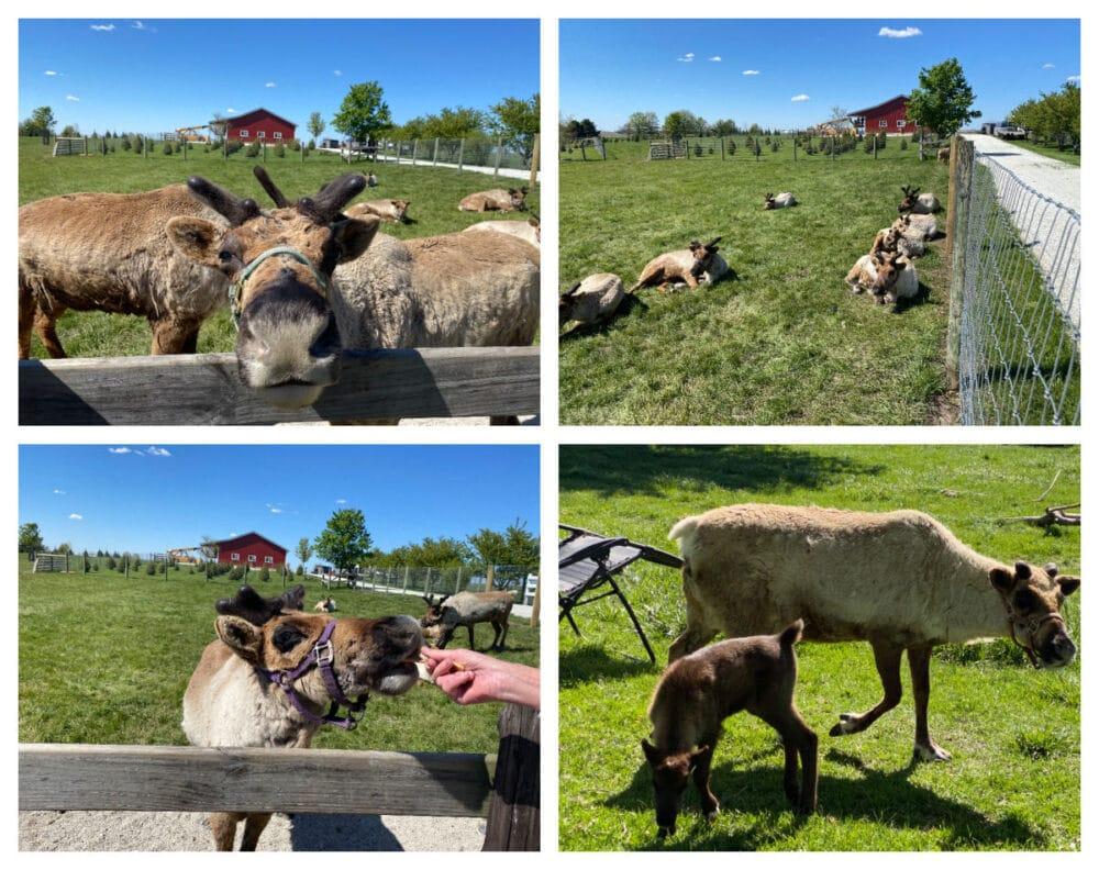 hardys-reindeer-ranch-animals