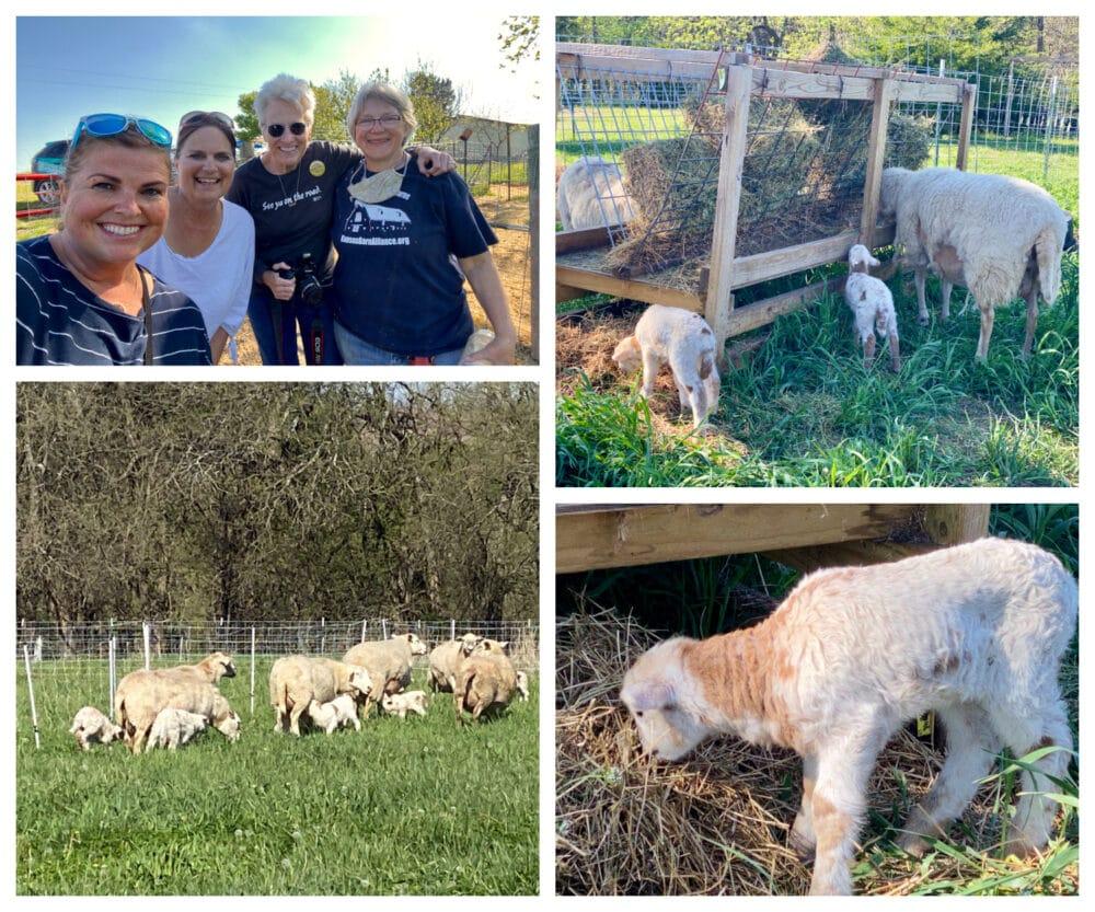 rocky-springs-family-farm -ambs